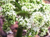 Άσπρο κατσαρό λάχανο λουλουδιών Στοκ Εικόνες