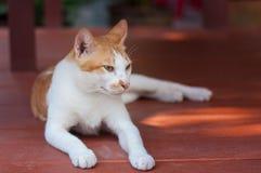 Άσπρο καφετί γατάκι που ψάχνει κάτι Στοκ Φωτογραφία