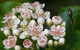 Άσπρο κεράσι λουλουδιών Στοκ εικόνες με δικαίωμα ελεύθερης χρήσης