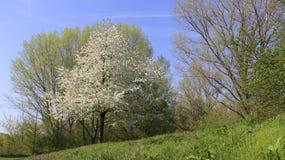 Άσπρο κεράσι που ανθίζει με τα μικρά άγρια λουλούδια Στοκ φωτογραφίες με δικαίωμα ελεύθερης χρήσης