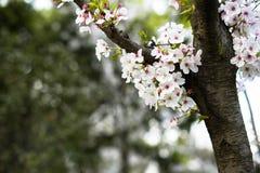 Άσπρο κεράσι blossomsï ¼ ŒSakura στοκ εικόνα