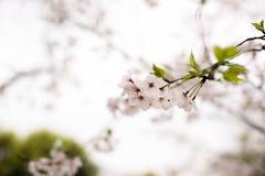 Άσπρο κεράσι blossomsï ¼ ŒSakura στοκ φωτογραφίες με δικαίωμα ελεύθερης χρήσης