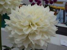Άσπρο κεφάλι λουλουδιών νταλιών με τα τέλεια πέταλα στοκ εικόνα