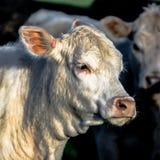 Άσπρο κεφάλι αγελάδων - τετράγωνο Στοκ Εικόνες