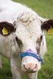 Άσπρο κεφάλι αγελάδων Στοκ Φωτογραφίες