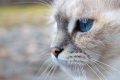 Άσπρο κεφάλι γατών με τα μπλε μάτια Στοκ Φωτογραφία