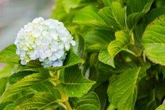 Άσπρο κεφάλι λουλουδιών hydrangea στην πράσινη κινηματογράφηση σε πρώτο πλάνο υποβάθρου φύλλων Στοκ εικόνα με δικαίωμα ελεύθερης χρήσης