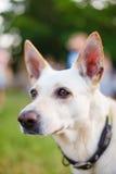 Άσπρο κεφάλι σκυλιών με το περιλαίμιο, κινηματογράφηση σε πρώτο πλάνο Στοκ Φωτογραφίες