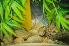 Άσπρο κεφάλι cobra βασιλιάδων Βασιλιάς Cobra (Ophiophagus Hannah), το worl Στοκ Φωτογραφίες