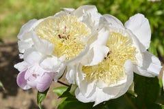 Άσπρο κινεζικό peony λουλούδι Στοκ Εικόνες
