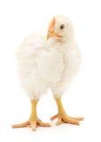 Άσπρο κοτόπουλο Στοκ φωτογραφία με δικαίωμα ελεύθερης χρήσης