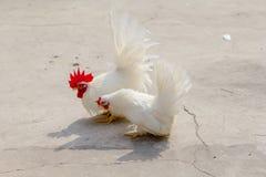 Άσπρο κοτόπουλο δύο που βρίσκει να γεμίσει για να ταΐσει Στοκ φωτογραφία με δικαίωμα ελεύθερης χρήσης