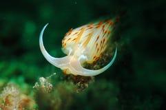 Άσπρο κουνέλι θάλασσας nudibranch στοκ εικόνα με δικαίωμα ελεύθερης χρήσης
