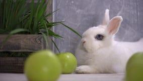 Άσπρο κουνέλι που στηρίζονται δίπλα στα πράσινα μήλα και ένα ξύλινο καλάθι που γεμίζουν με τη χλόη απόθεμα βίντεο
