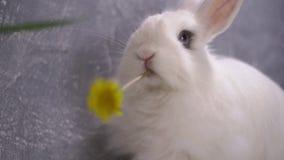Άσπρο κουνέλι που τρώει μια κίτρινη πικραλίδα απόθεμα βίντεο