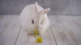 Άσπρο κουνέλι που τρώει μια κίτρινη πικραλίδα ενάντια στον γκρίζο τοίχο απόθεμα βίντεο