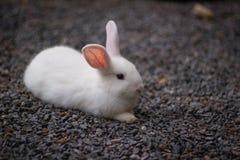 Άσπρο κουνέλι στο αμμοχάλικο στοκ φωτογραφία με δικαίωμα ελεύθερης χρήσης