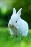 Άσπρο κουνέλι μωρών στη χλόη Στοκ Φωτογραφίες