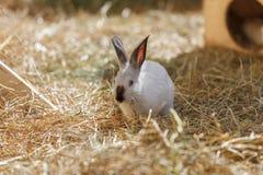 Άσπρο κουνέλι στην ξηρά χλόη Στοκ φωτογραφίες με δικαίωμα ελεύθερης χρήσης