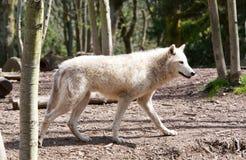 Άσπρο κυνήγι λύκων Στοκ Εικόνες