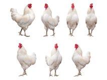 Άσπρο κόκκορας, κόκκορας ή κοτόπουλο που απομονώνονται Στοκ εικόνες με δικαίωμα ελεύθερης χρήσης