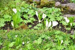 Άσπρο λάχανο μεφιτίδων στοκ φωτογραφία