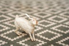 Άσπρο λαγουδάκι σε ένα της υφής υπόβαθρο ενός τάπητα με ένα γεωμετρικό σχέδιο Έννοια Πάσχας, τρυφερότητα, μοναδικότητα, ομορφιά Λ στοκ εικόνα με δικαίωμα ελεύθερης χρήσης