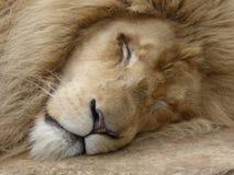 Άσπρο λιοντάρι που έχει έναν ύπνο στοκ εικόνες με δικαίωμα ελεύθερης χρήσης