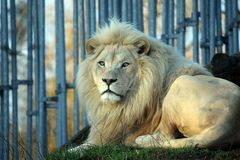 Άσπρο λιοντάρι που βρίσκεται και που στηρίζεται στοκ εικόνες