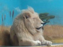 Άσπρο λιοντάρι Στοκ εικόνες με δικαίωμα ελεύθερης χρήσης