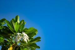 Άσπρο λουλούδια ή obtusa Plumeria στον ουρανό Στοκ Εικόνες