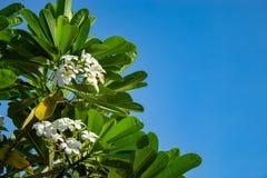 Άσπρο λουλούδια ή obtusa Plumeria στον ουρανό Στοκ εικόνες με δικαίωμα ελεύθερης χρήσης