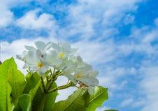 Άσπρο λουλούδια ή obtusa Plumeria στον ουρανό Στοκ εικόνα με δικαίωμα ελεύθερης χρήσης