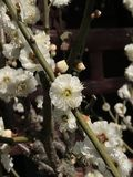 Άσπρο λουλούδι ανθών στοκ εικόνες