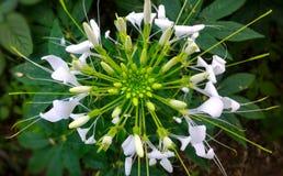 Άσπρο λουλούδι αραχνών Στοκ εικόνες με δικαίωμα ελεύθερης χρήσης