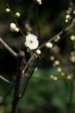 Άσπρο λουλούδι δαμάσκηνων Στοκ Φωτογραφία