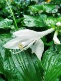 Άσπρο λουλούδι κάτω από τη βροχή στοκ φωτογραφίες