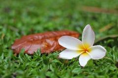 άσπρο λουλούδι και παλαιό φύλλο στοκ εικόνες