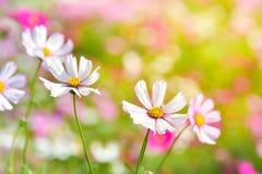 Άσπρο λουλούδι κόσμου στον τομέα κόσμου Στοκ φωτογραφία με δικαίωμα ελεύθερης χρήσης