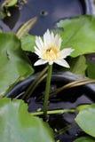 Άσπρο λουλούδι λωτού στον κήπο στοκ εικόνες