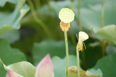 Άσπρο λουλούδι λωτός-λωτού Guangchang Jiangxi Στοκ Εικόνες