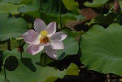 Άσπρο λουλούδι λωτός-λωτού Guangchang Jiangxi Στοκ Φωτογραφία