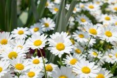 Άσπρο λουλούδι μαργαριτών στο πράσινο λιβάδι Στοκ Φωτογραφία