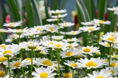Άσπρο λουλούδι μαργαριτών στο πράσινο λιβάδι Στοκ Εικόνες