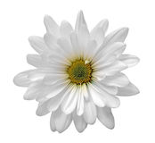 Άσπρο λουλούδι μαργαριτών Στοκ φωτογραφία με δικαίωμα ελεύθερης χρήσης
