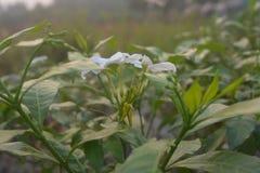 Άσπρο λουλούδι με το θερμό φως του ήλιου το πρωί στοκ εικόνα