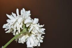 Άσπρο λουλούδι με το σκοτεινό υπόβαθρο Στοκ φωτογραφίες με δικαίωμα ελεύθερης χρήσης