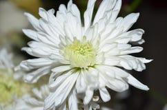 Άσπρο λουλούδι με το σκοτεινό υπόβαθρο Στοκ εικόνα με δικαίωμα ελεύθερης χρήσης