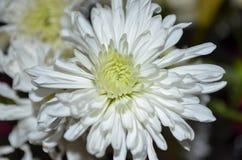 Άσπρο λουλούδι με το σκοτεινό υπόβαθρο Στοκ Φωτογραφία