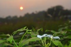 Άσπρο λουλούδι με το υπόβαθρο ανατολής στο πρωί στοκ φωτογραφία με δικαίωμα ελεύθερης χρήσης